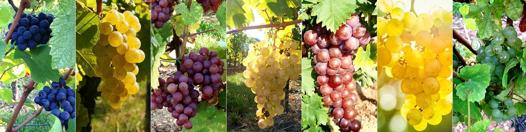 Rebsorten Wein